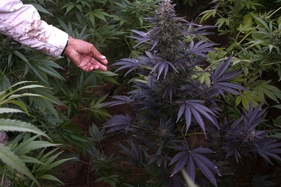 Можно ли провести в россию марихуану можно ли садить коноплю и огурцы в одной теплице